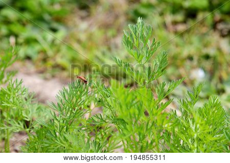 Common Red Soldier Beetle On Carrot Plants