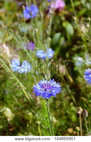 Blue Cornflower, Growing Among Purple And Pink Flowers