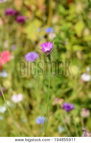Corn Cockle Wild Flower Against Blurred Background Of Flowers