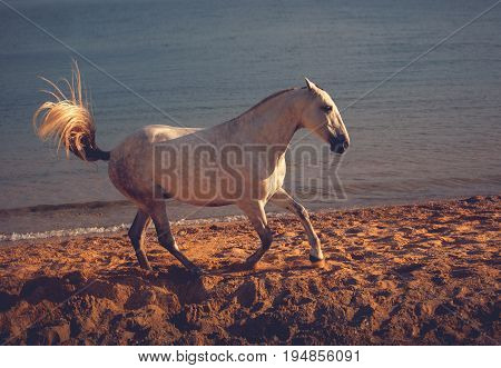 White horse runs on the beach on the sea background