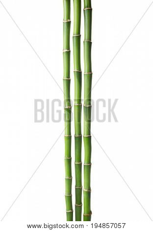 Three branches  of  Bamboo isolated on white background.  Sander's Dracaena