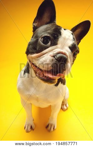 Portrait of curious French bulldog sitting on yellow background