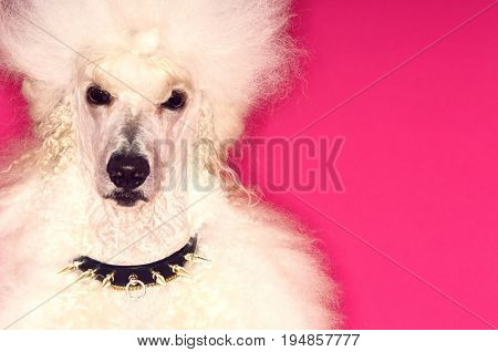 Closeup portrait of groomed White Standard Poodle on pink background