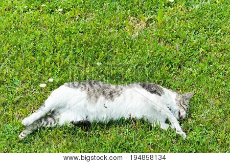 Dead cat. Body of dead cat on the green grass. With flies.
