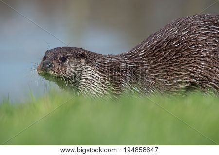 European Otter (Lutra lutra) in thick green grass at the edge of a lake