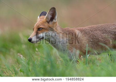 Red Fox (Vulpes vulpes) in summer meadow