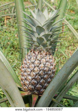 Pineapple plantation on Principe Island, Sao Tome and Principe, Africa