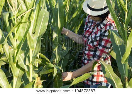 Agronomist, Farmer, Examines The Quality Of Corn