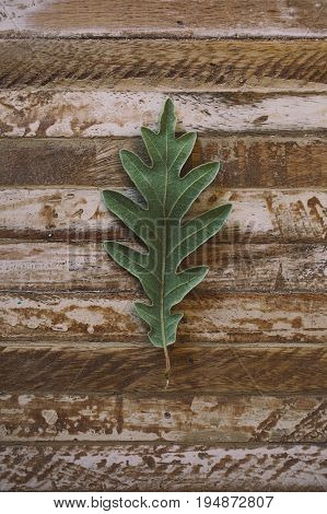 Oak tree leaf on wooden background. Oak leaves texture. Green oak leaf texture and background for designers. Macro view of green leaf on wood background.