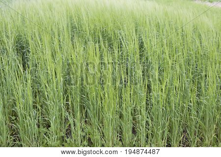 Cultivated cereals of various green shades Russia