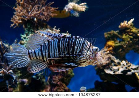 dangerous lionfish against a coral reef background