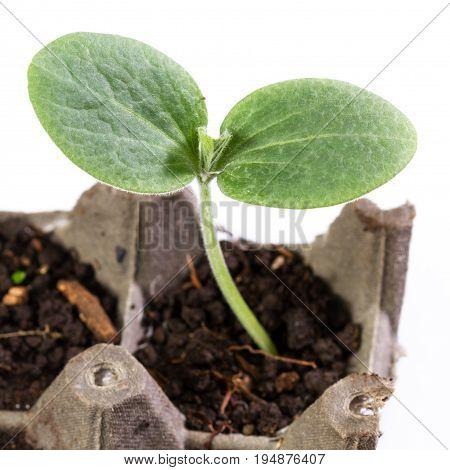 Small Squash Plant