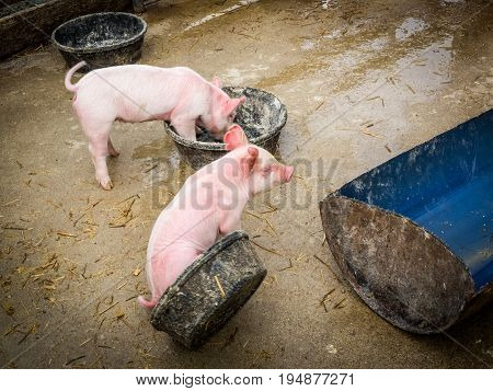 High-angle view of two pink piglets eating and playing in a barnyard