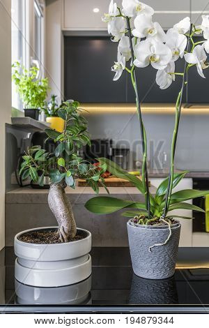 Phalaenopsis Orchids in Flower Pots in modern kitchen