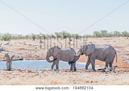 Strange elephant behavior - an African elephant Loxodonta africana touching the genitals of another elephant with its trunk at a waterhole in Northern Namibia