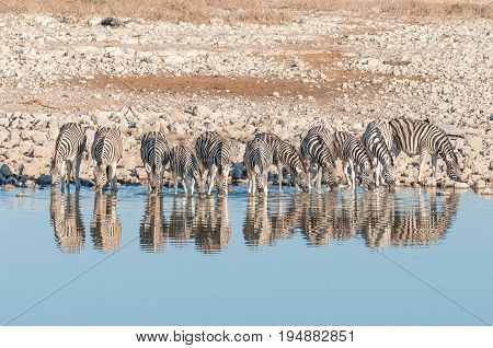 Burchells zebras Equus quagga burchellii with their reflections visible drinking at a waterhole