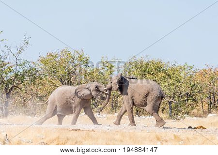 Two young African elephant bulls Loxodonta africana in a mock fight in Northern Namibia