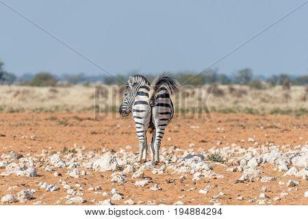 A Burchells zebra Equus quagga burchellii pooing on red san in Northern Namibia