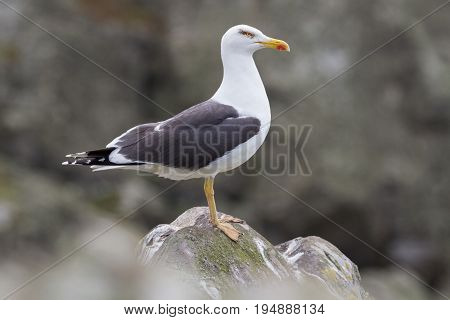 Herring Gull (larus Argentatus) Perched On A Rock