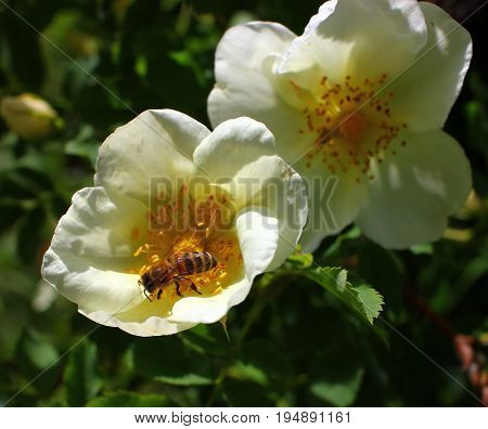 A bee on a flower, a collection of nectar by insects
