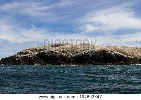 Gannets (morus Bassanus) Grassholm Island, Pembrokeshire, Uk