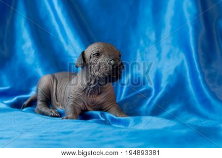 Newborn dog Mexican xoloitzcuintle puppies one week old sits on a blue background. A place for writing letters. Postcard