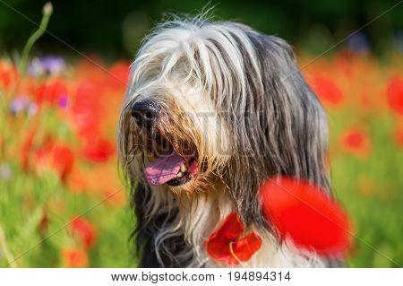 Portrait Of A Bearded Collie In A Poppy Field