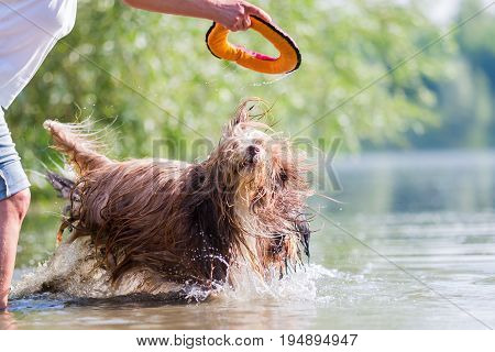 Person Plays With A Bearded Collie In The Lake