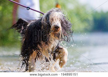 Bearded Collie Walking In A Lake