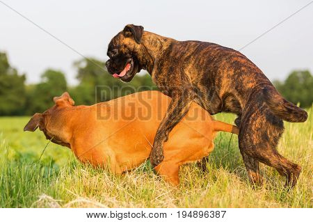 One Boxer Dog Climbs On The Other
