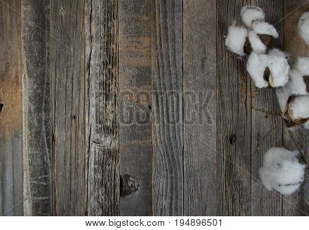 cotton boll branch on weathered old wood