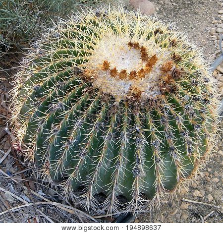Echinocactus grusonii in Ein Gedi on Dead Sea coast Israel