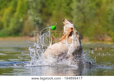 Labrador Dog Snaps For A Ball