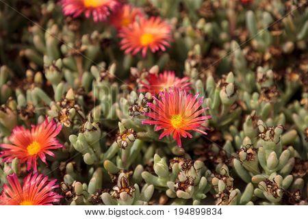 Ice Plant Succulent, Carpobrotus Edulis