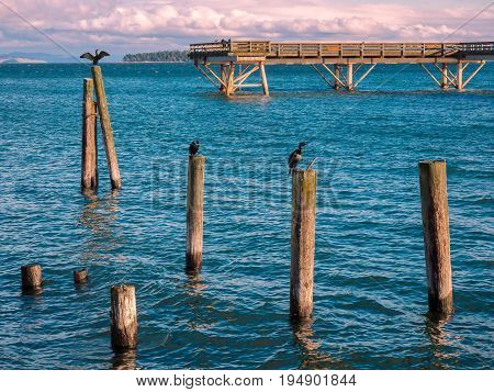 Cormorants sit on the piles near fishing pier in Sidney Vancouver Island Canada stormy clouds forming