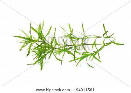 Laminaria Seaweed Isolated on White Background Watercolor seaweed grass bush isolated on white background.
