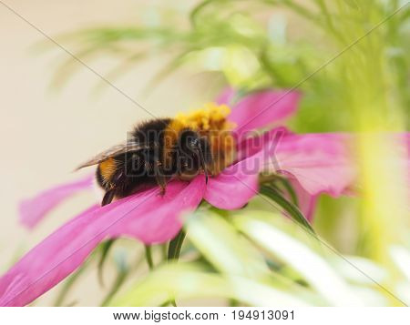 Close up of a bumble bee on a pink flower