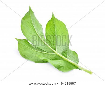 back of green leaf of amorphophallus paeoniifolius (dennst.) nicolson.elephant yam stanley s water-tub konjac isolated on white background
