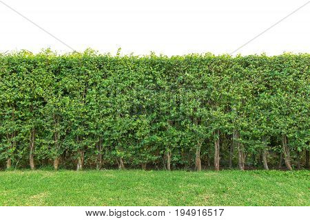 Hedge Fence Or Green Leaves Wall Isolated On White Background