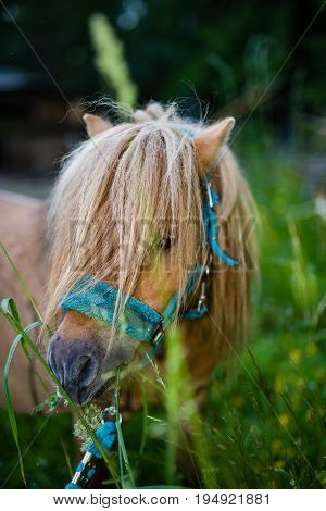 Small Shetland horse eating clover in field