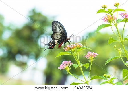 Red Butterfly With Hedge Flowers.