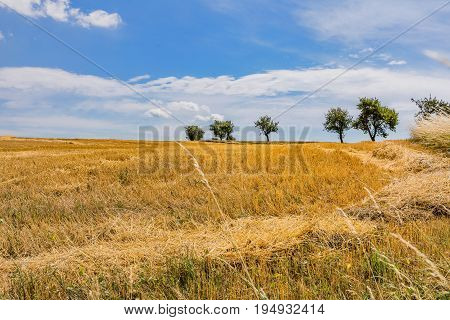 Agricultural field where harvest of cereals. Field with cut grain. Blue sky. crop cultivation dry rye stems harvest season healthy nutrition concept.