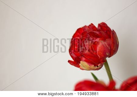 Red garden flowers on white background. Front view. Text place for quote, logo. Love concept