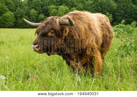 Scottish Highland bull looking at the viewer