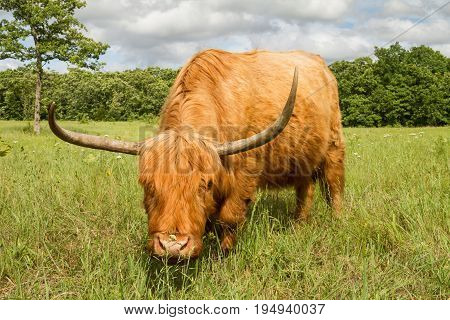 Scottish Highland Cow in a meadow looking at the viewer