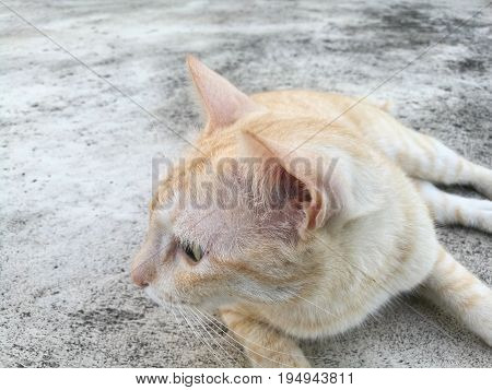 Close up of light brown cat with concrete floor background; taken from front during its head turn right (showing left side of face)