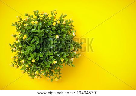 Ornamental Plant Shot From Above On Yellow Background.