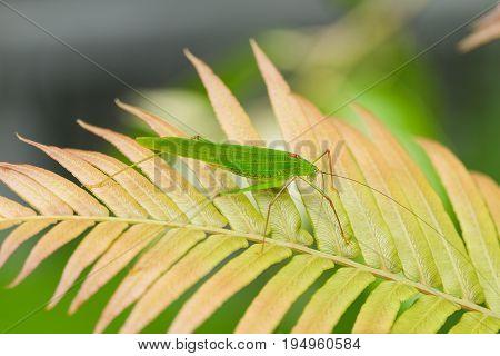 Locust Green Grasshopper on fern leaves in a Meadow in summer