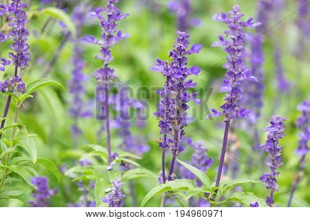 Close-up of Blue Salvia (Blue sage salvia farina-Cea) flowers blooming in the garden ornamental plants spring.
