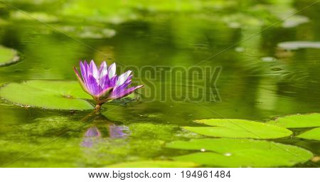 Image of a Blue Lotus Water Lily (Nymphaea nouchali)